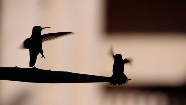 hummingbird-1-w